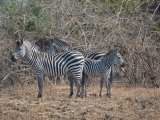 Zambia: South Luangwa National Park