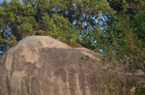 Leopard Spotted