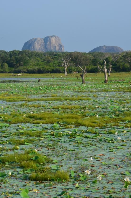 Lilly Pad Lake Yala National Park
