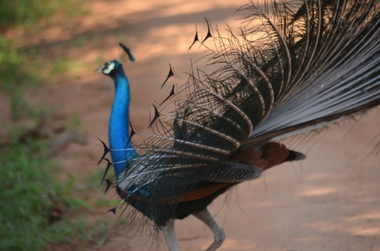 Peacock Dancing From the Side