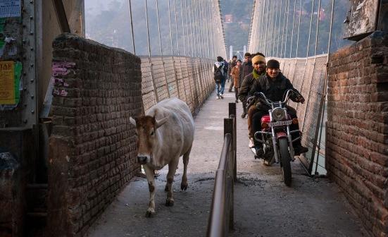 EZH Cow Crossing
