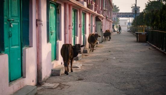 EZH Chillin Cows