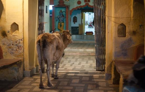 EZH Religious Cow